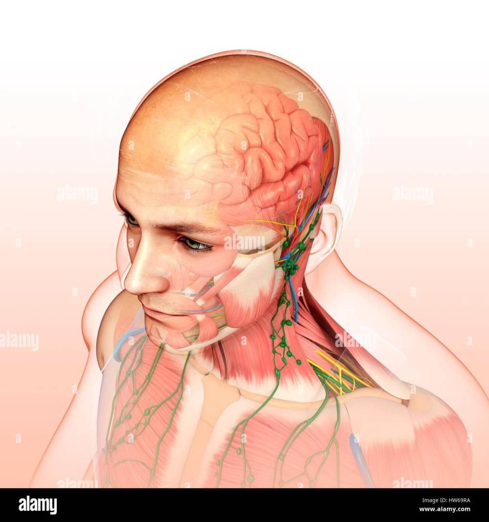 medium resolution of illustration of male head and chest anatomy stock image