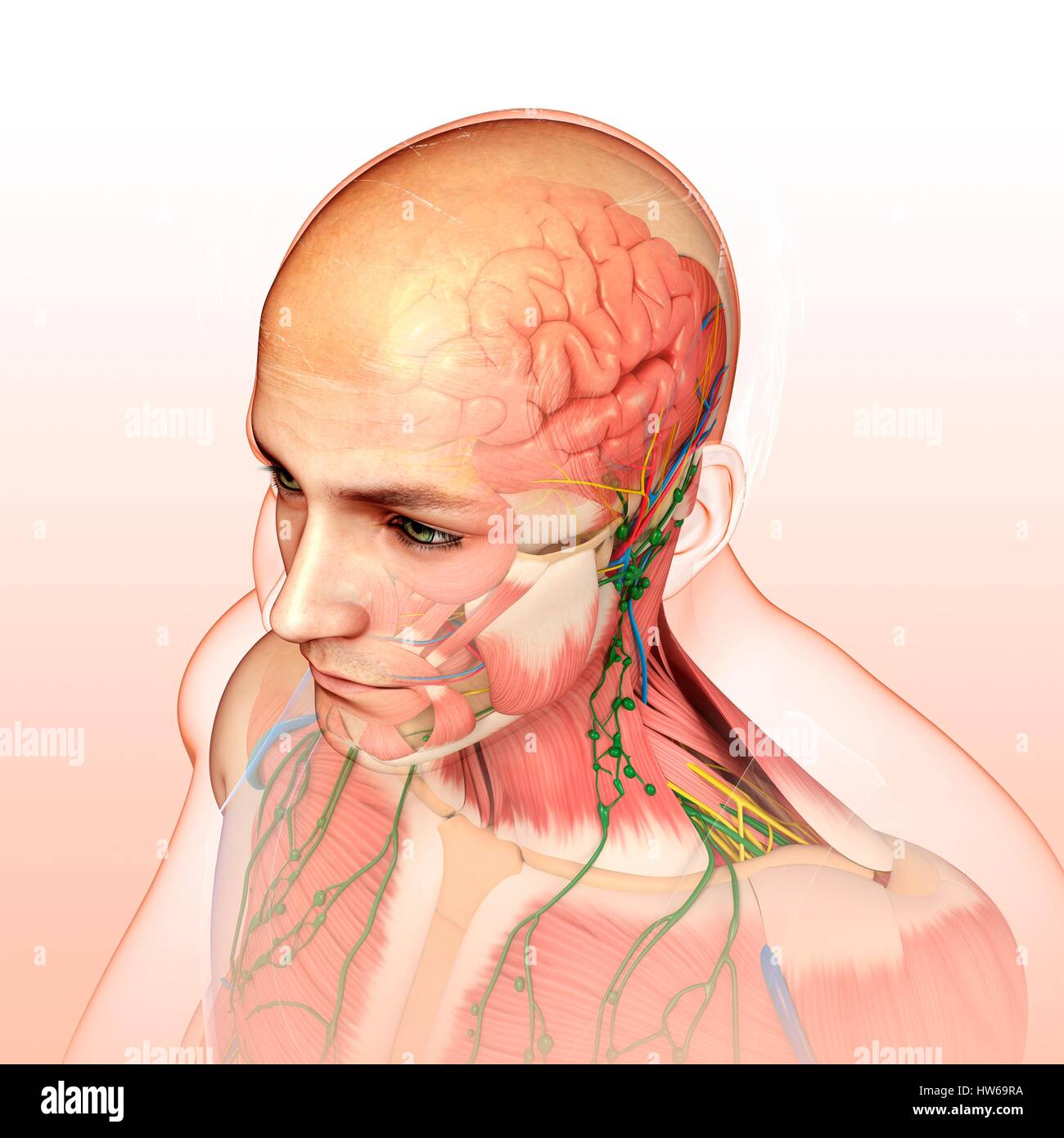 hight resolution of illustration of male head and chest anatomy stock image