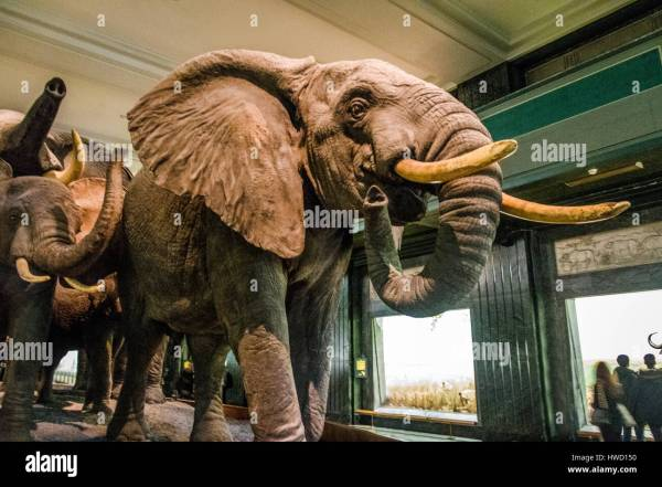 Elephant Models Hall Of African Mammals American