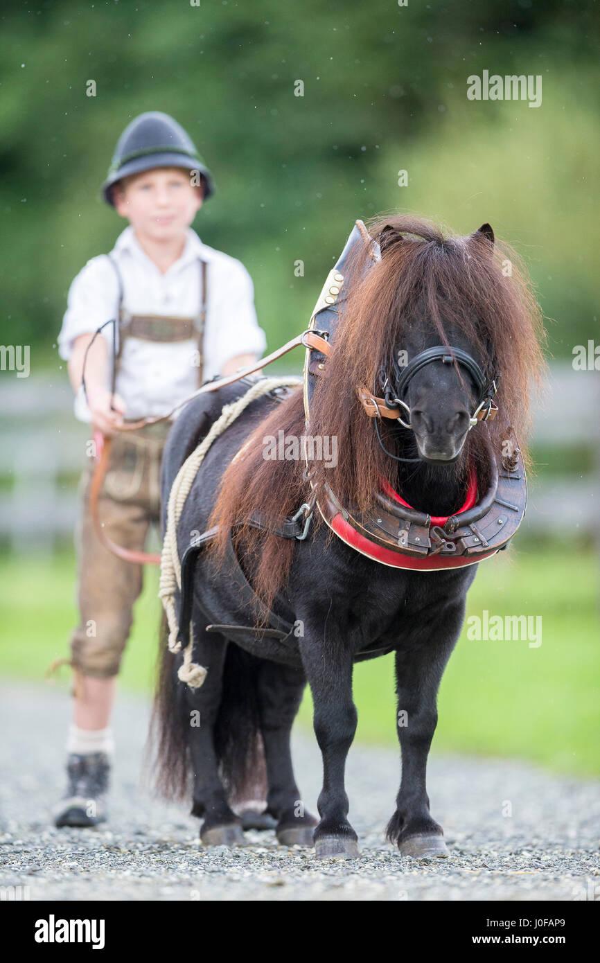 medium resolution of bavarian boy with shetland pony in collar harness bavaria germany