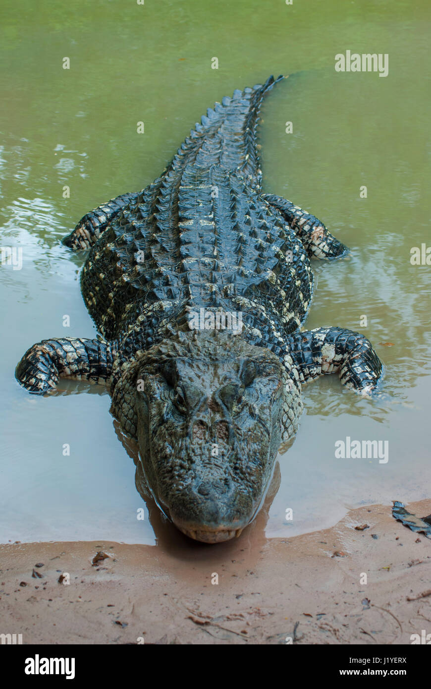 Black caiman Melanosuchus niger in the water at the river edge Stock Photo 138901950  Alamy