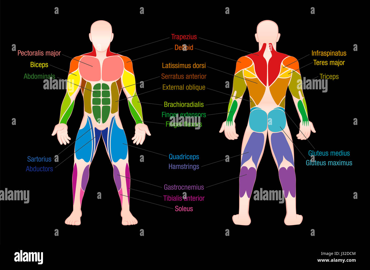 human muscles diagram labeled front and back 2002 gmc envoy stereo wiring muscle chart with most important of the body colored anterior posterior view illustration on black background