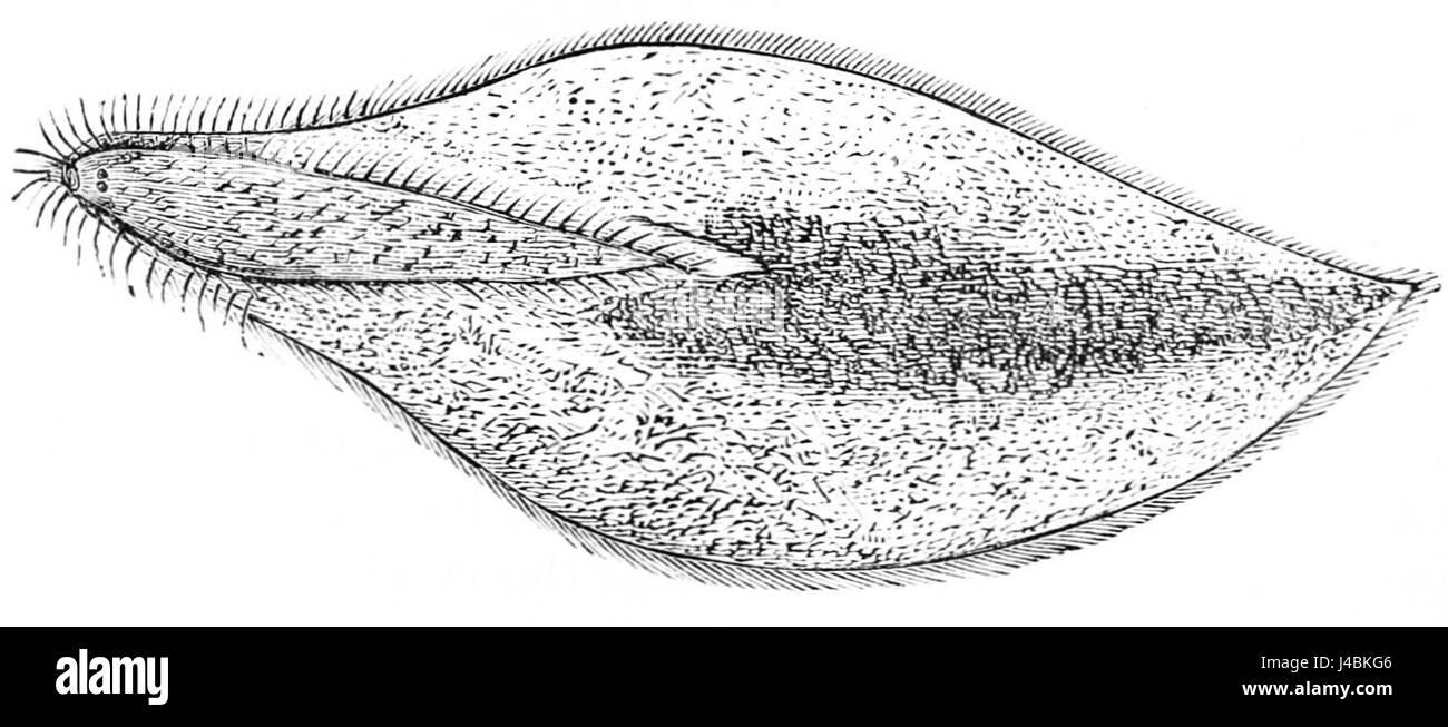 hight resolution of psm v05 d671 paramecium caudatum stock image
