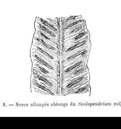 scolopendrium vulgare limbe avec sores stock image [ 1300 x 960 Pixel ]
