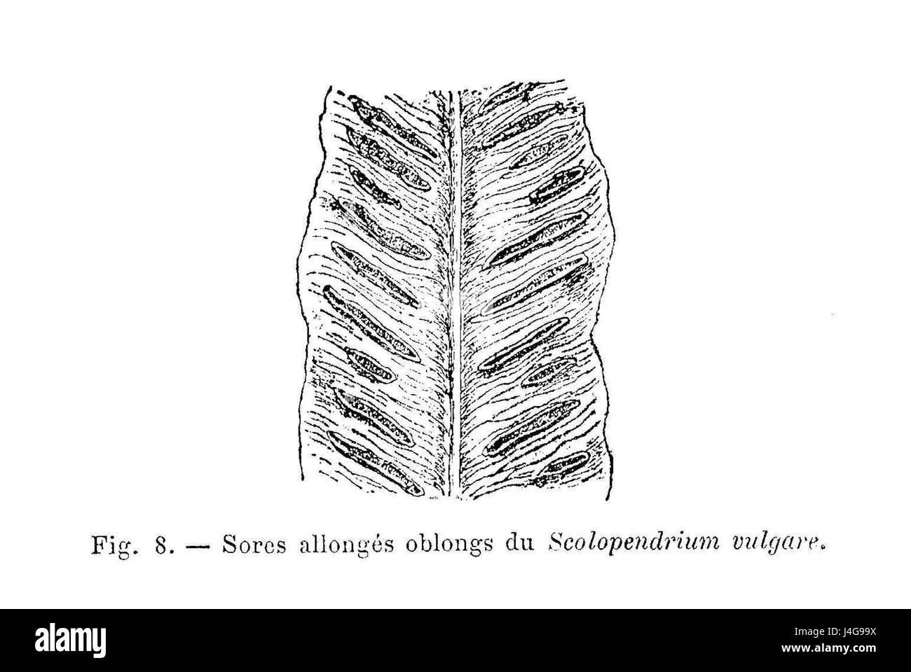 hight resolution of scolopendrium vulgare limbe avec sores stock image