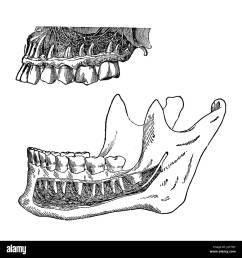 vintage illustration position of human teeth in the jaws stock image [ 1300 x 1353 Pixel ]