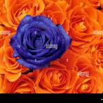 Rose Rosa Single Blue Flower In Mass Or Orange Blooms Stock Photo Alamy