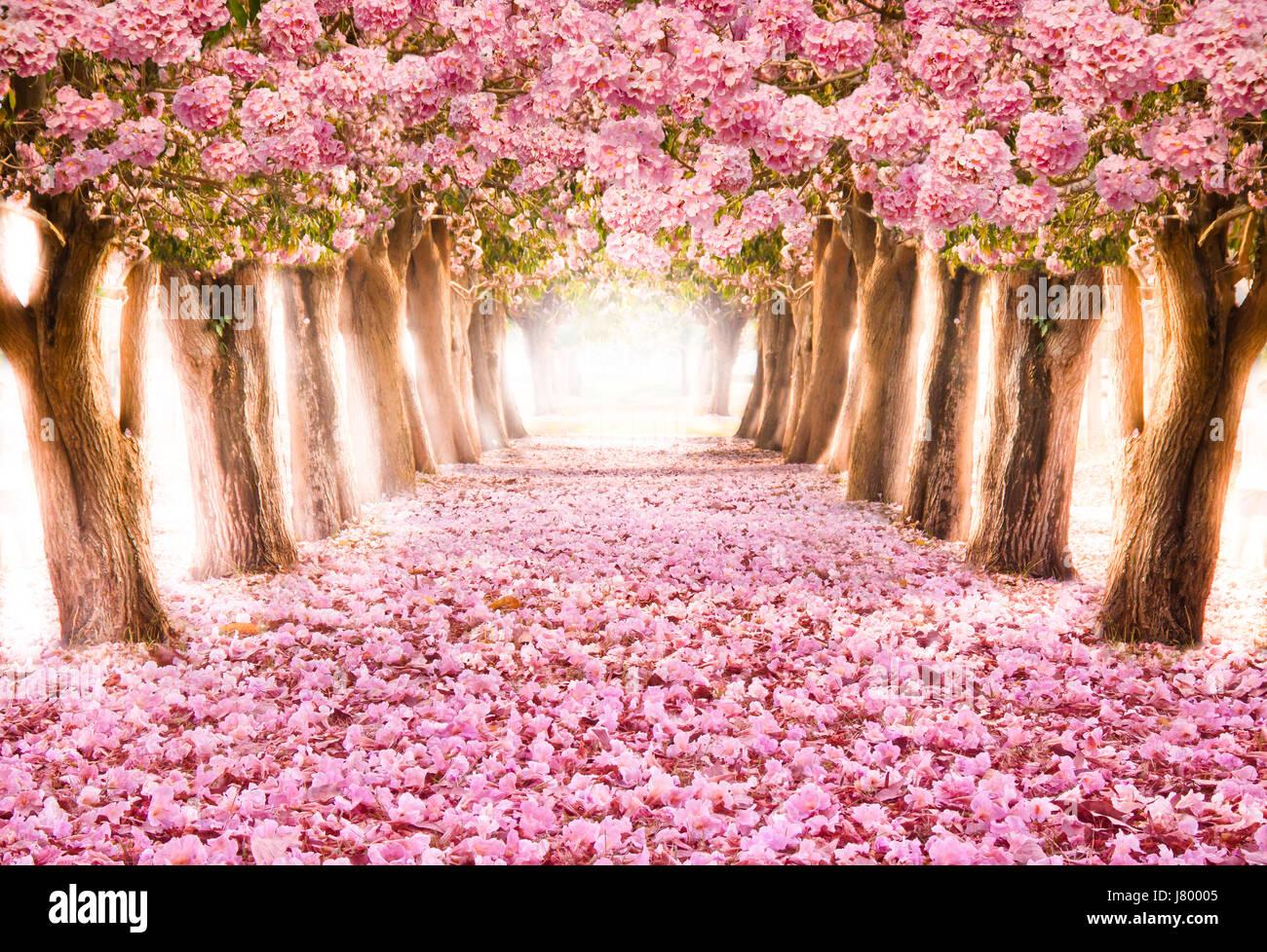 Sakura Falling Live Wallpaper Downloads Falling Petal Over The Romantic Tunnel Of Pink Flower