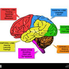 Left Side Brain Functions Diagram Hub And Spoke In Powerpoint Human 39s Stock Photo 144630161 Alamy