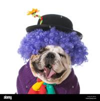 silly dog wearing clown costume on white background ...