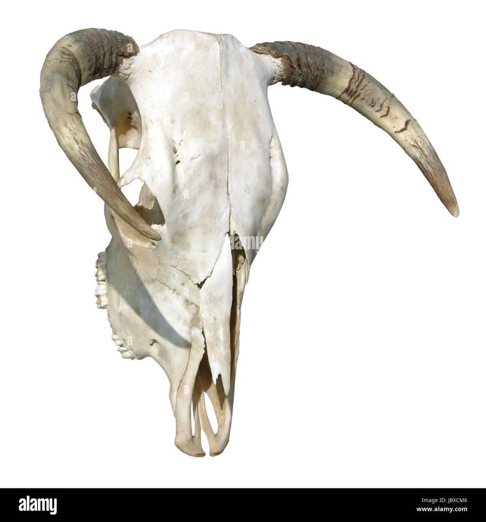medium resolution of cow skull stock image
