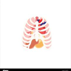Diagram Of Ribs And Organs Sales Process Flow Examples Vector Illustration Human Rib Cage Lungs Heart Stomach Internal Icons Symbols
