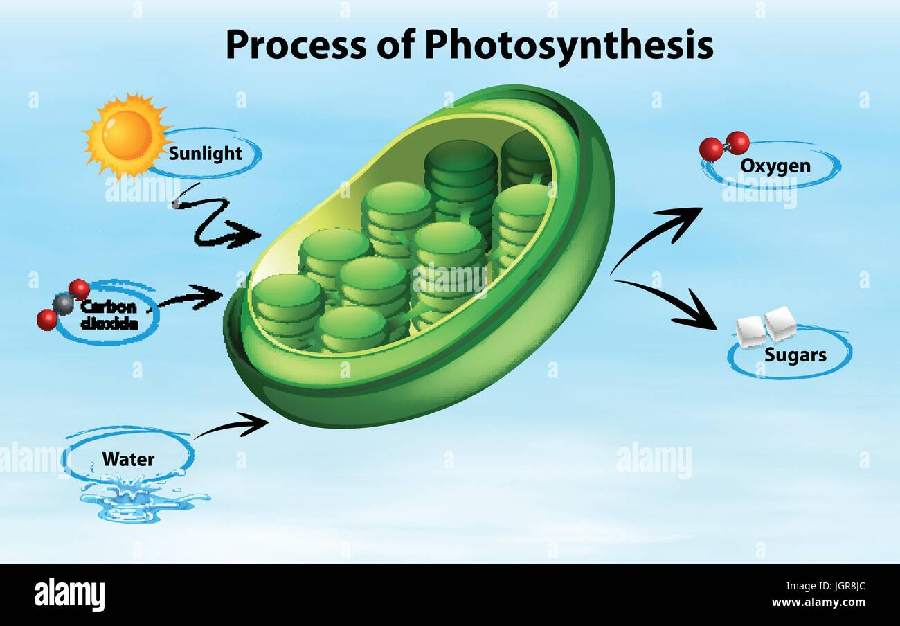 elodea leaf cell diagram modern house wiring showing process of photosynthesis illustration