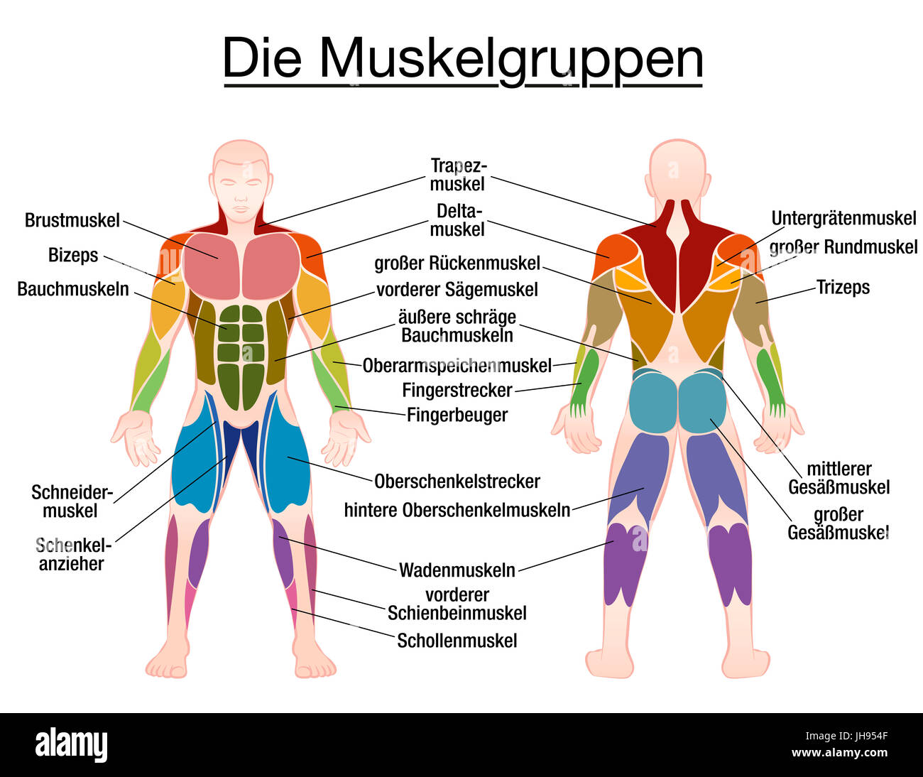 human muscles diagram labeled front and back badlands winch remote wiring muscle chart german labeling most important of the body colored view