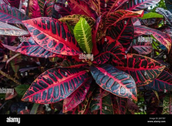 Croton Plant Stock & - Alamy