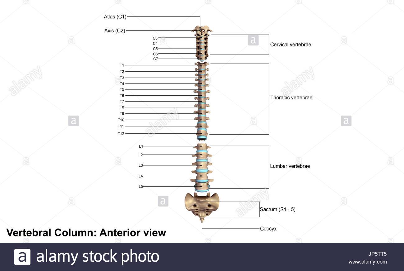 vertebrae diagram blank 2001 nissan frontier xe radio wiring vertebral stock photos and images alamy