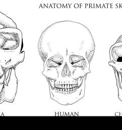 human and chimpanzee gorilla biology and anatomy illustration engraved hand drawn in old sketch and vintage style monkey skull or skeleton or bones  [ 1300 x 846 Pixel ]