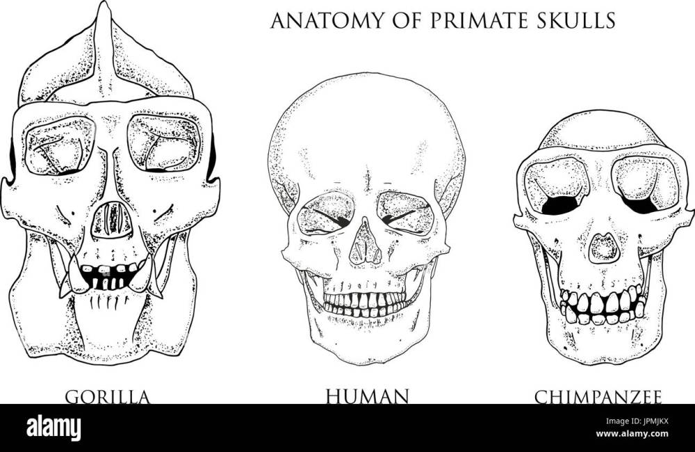 medium resolution of human and chimpanzee gorilla biology and anatomy illustration engraved hand drawn in old sketch and vintage style monkey skull or skeleton or bones