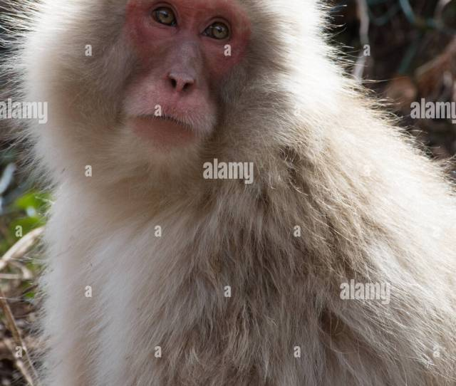 Close Up Of A Snow Monkey Looking Up With Sun Shining On Its Back Shallow Depth Of Field
