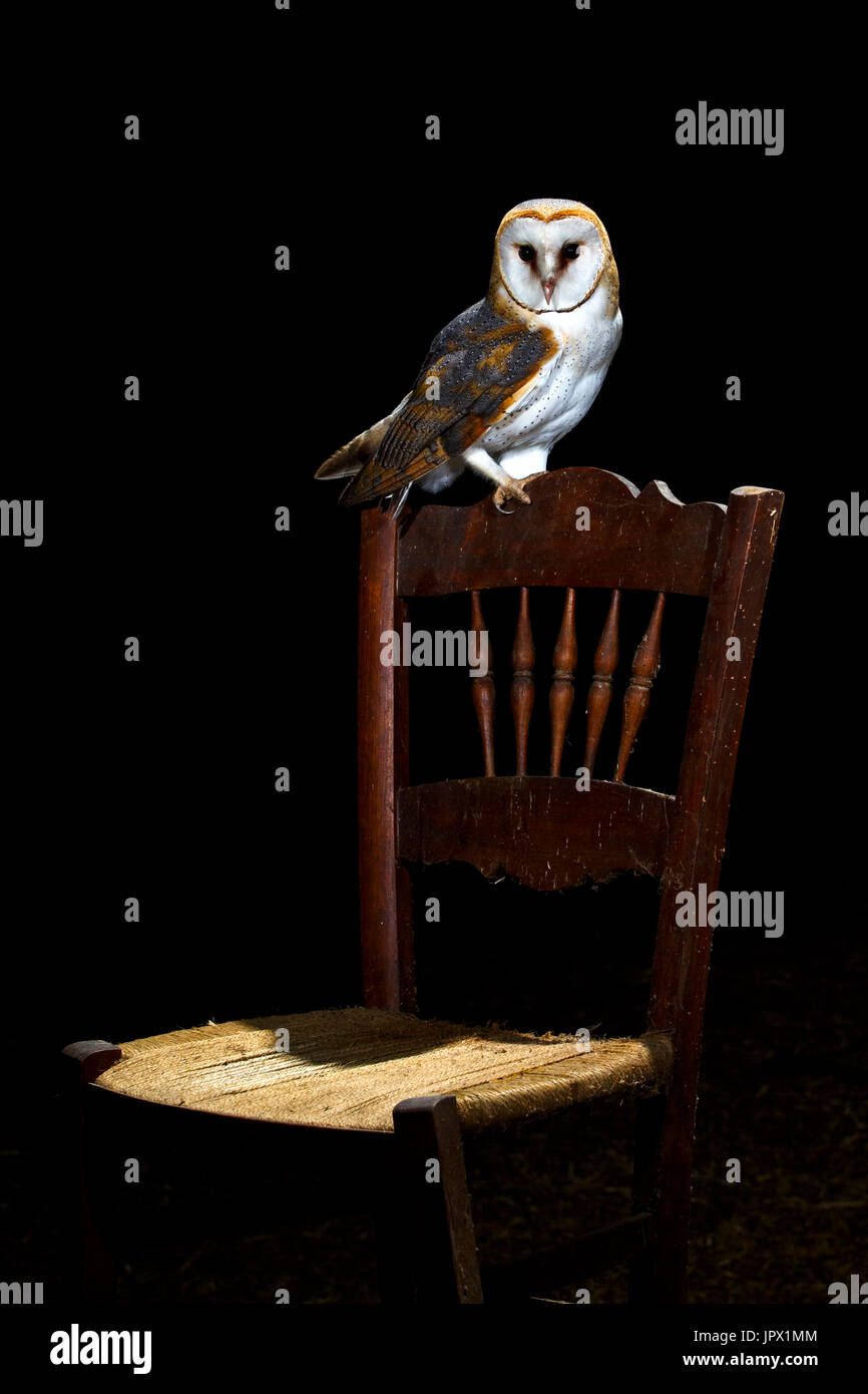 Owl Chair Barn Owl On Chair At Night Spain Stock Photo 151777492 Alamy