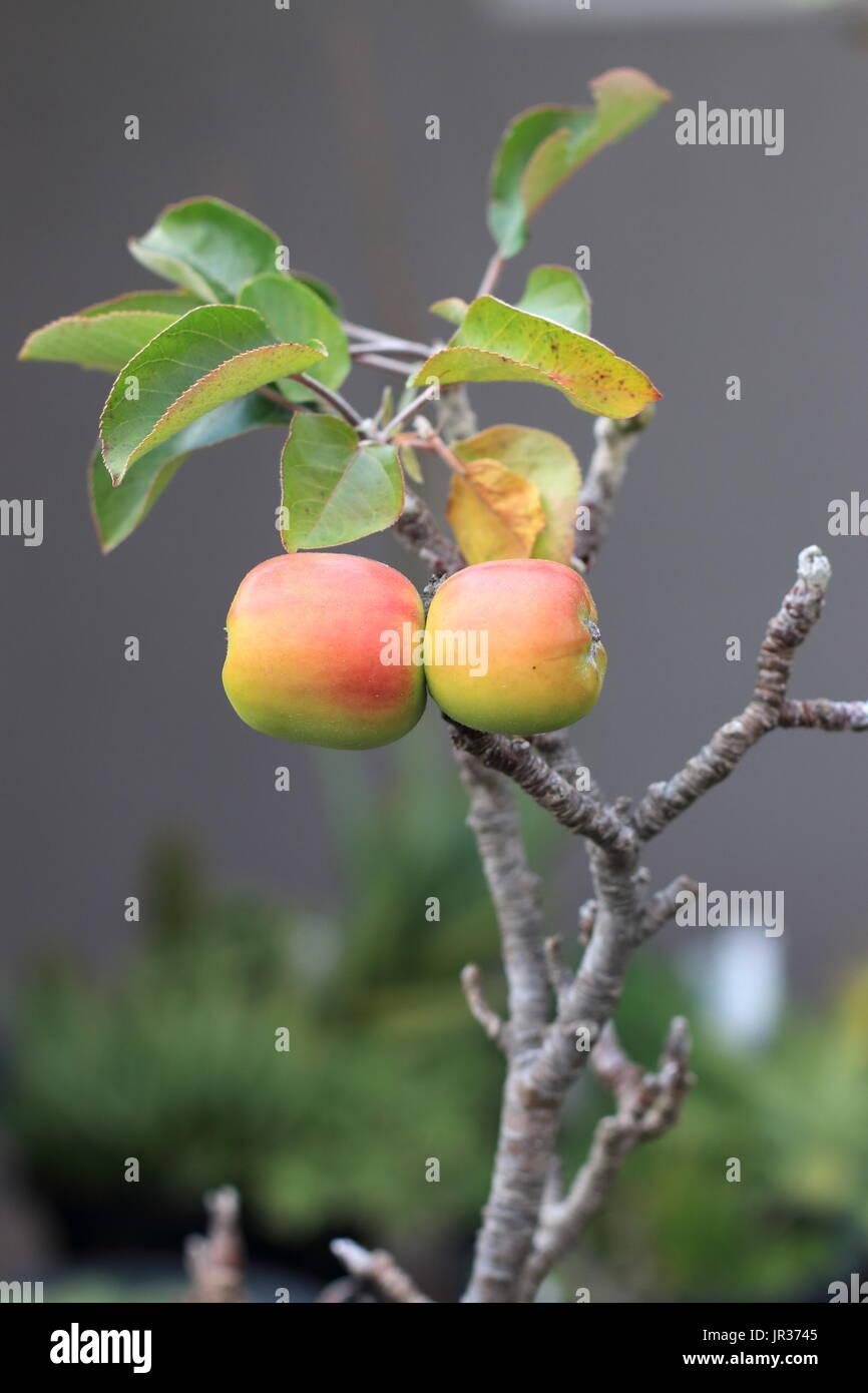 Dwarf Apple Tree Stock Photos  Dwarf Apple Tree Stock