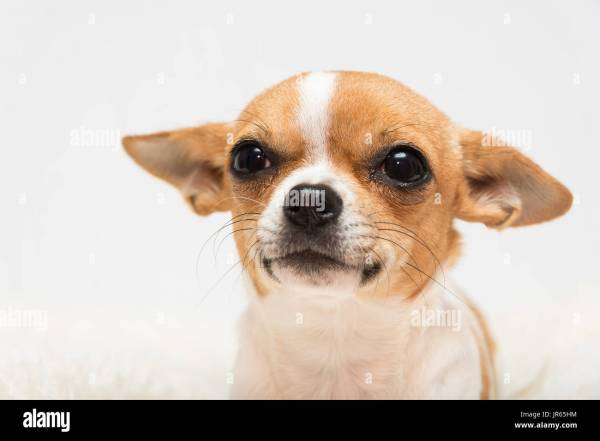 cute tan and white Chihuahua puppy on a white background