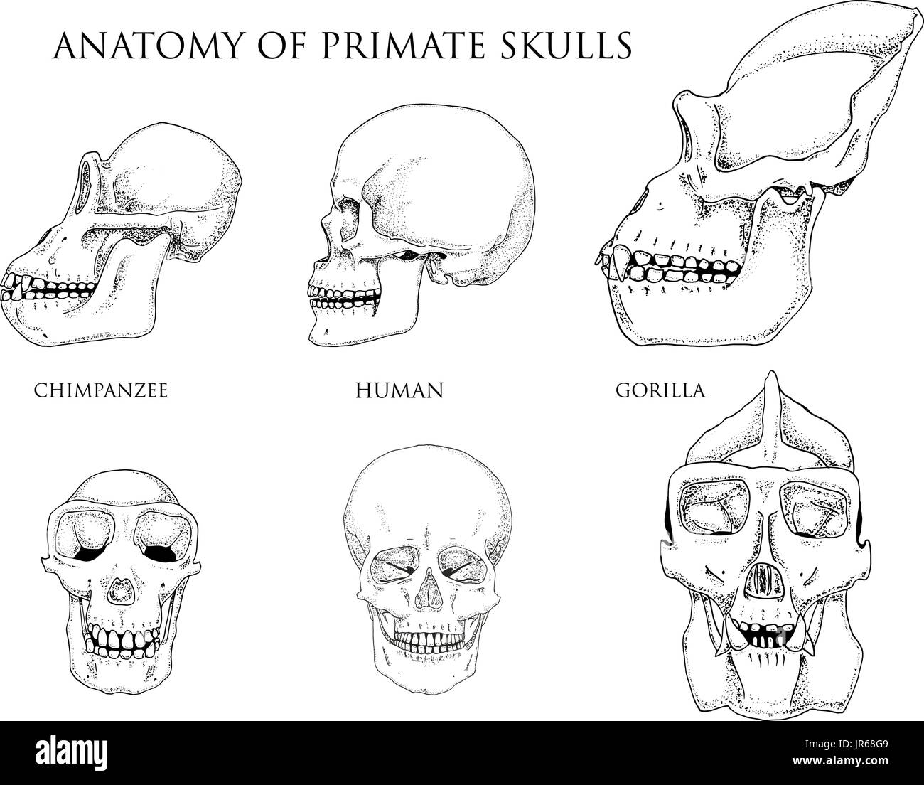 Chimpanzee Anatomy Stock Photos Amp Chimpanzee Anatomy Stock