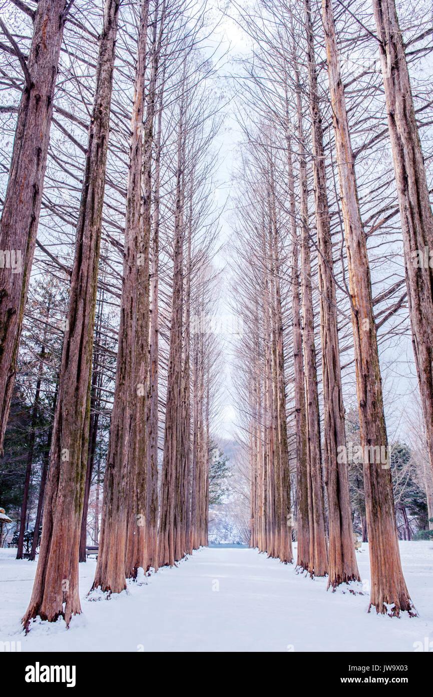 Nami Island Winter : island, winter, Island, Korea,Row, Trees, Winter, Stock, Photo, Alamy