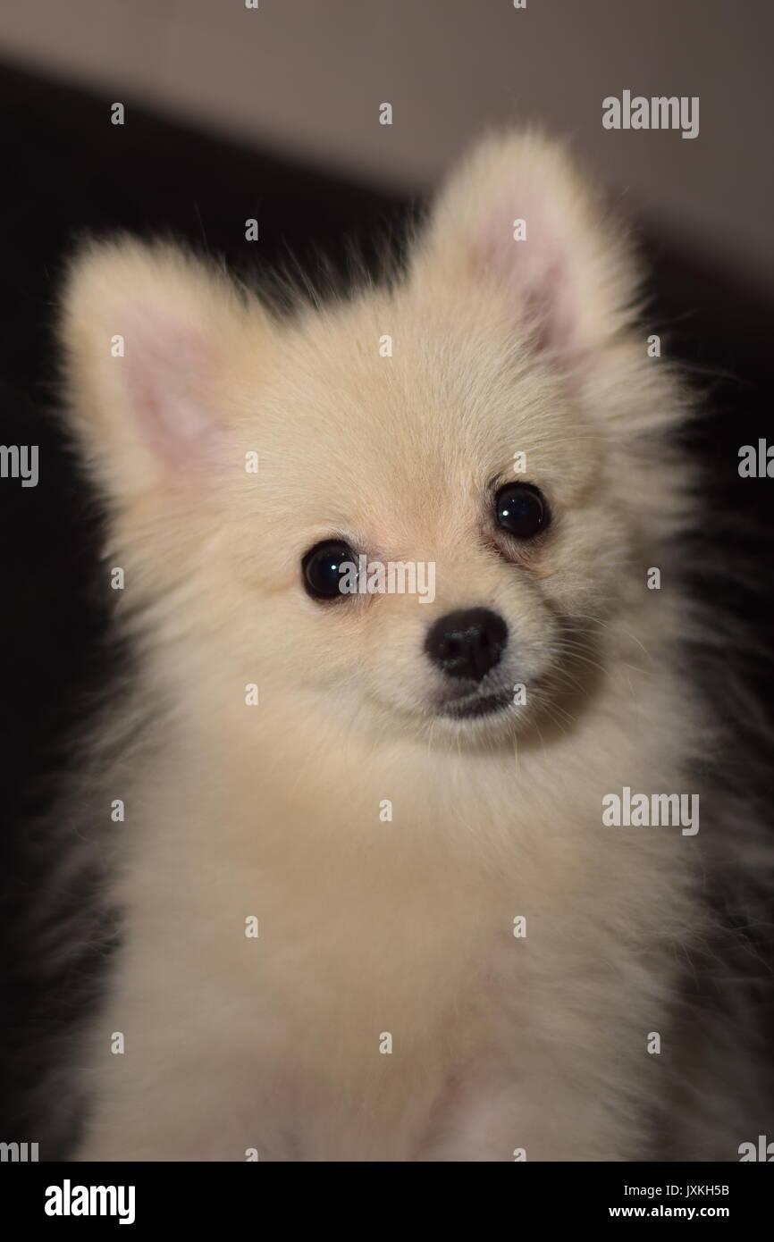 Mini Pom Dog : Funny, Playing, Stock, Photo, Alamy