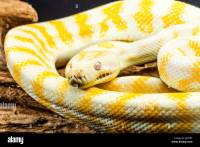 Carpet Python Australia Stock Photos & Carpet Python ...