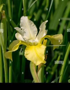 Iris sibirica chartreuse bounty also stock photo alamy rh