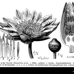 Lotus In Water Plant Diagram 2006 Kia Spectra Belt Of Lily Flower Wiring Data Nymphaea Black And White Stock Photos Images Alamy Parts