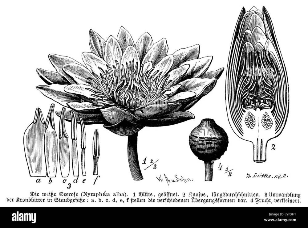 medium resolution of nymphaea black and white stock photos images alamy flower pollination diagram diagram of water lily flower