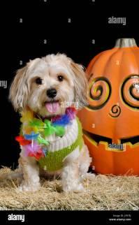 Dog Costume Halloween Stock Photos & Dog Costume Halloween ...