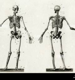 diagram of the human skeleton from front and back date  [ 1300 x 1039 Pixel ]