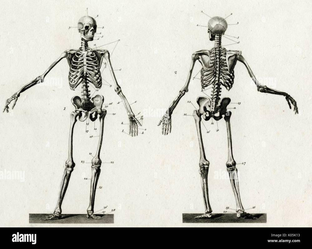 medium resolution of diagram of the human skeleton from front and back date