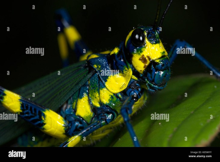 Grasshopper, Chromacris colorata, Iquitos, Peru, jungle, amazon, on leaf,  poisonous obtained from eating particular foodplants, blue yellow colour