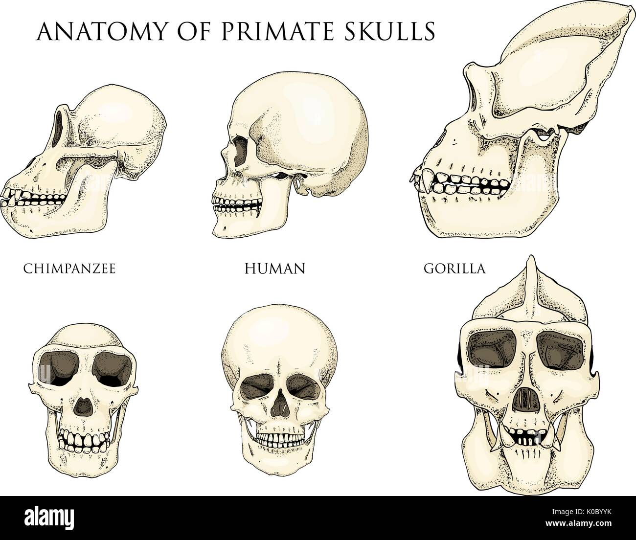 hight resolution of human and chimpanzee gorilla biology and anatomy illustration engraved hand drawn in old sketch and vintage style monkey skull or skeleton or bones