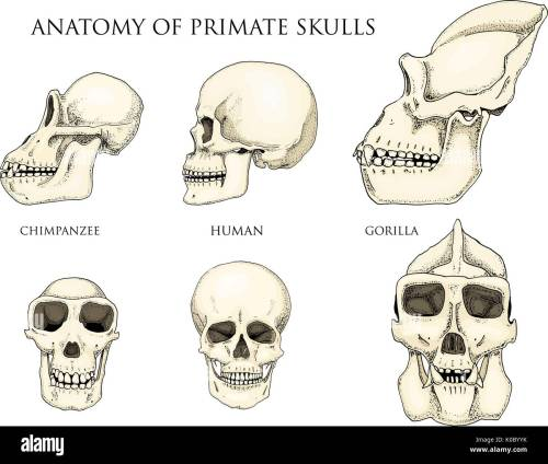 small resolution of human and chimpanzee gorilla biology and anatomy illustration engraved hand drawn in old sketch and vintage style monkey skull or skeleton or bones