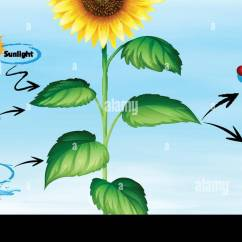 Sunflower Plant Life Cycle Diagram Ceiling Rose Wiring Uk Water Stock Photos And