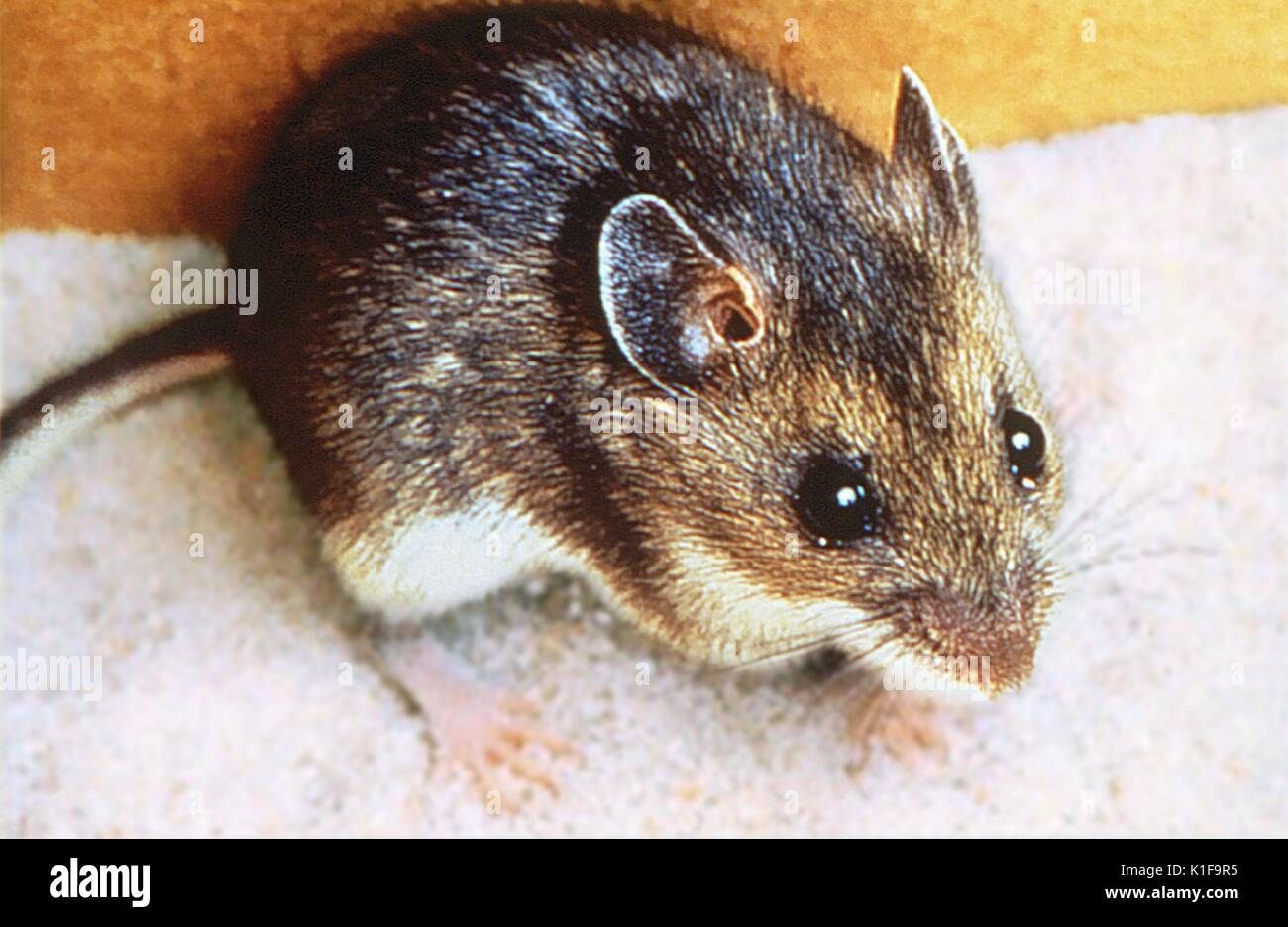 Deer mouse, Peromyscus maniculatus, Carrier of Sin Nombre virus ...