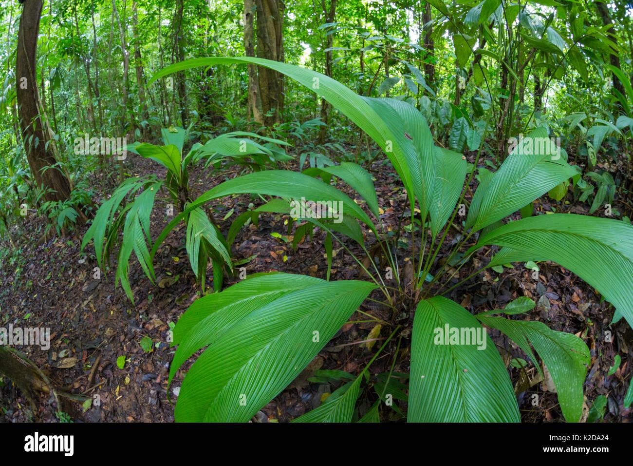 Lowland Tropical Rainforest Understory Vegetation