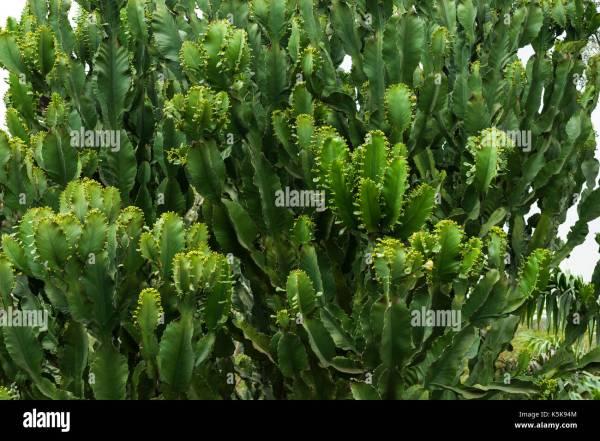 Euphorbia Tree Stock Photos & Euphorbia Tree Stock Images ...
