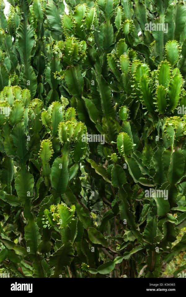 Candelabra Euphorbia Stock Photos & Candelabra Euphorbia ...