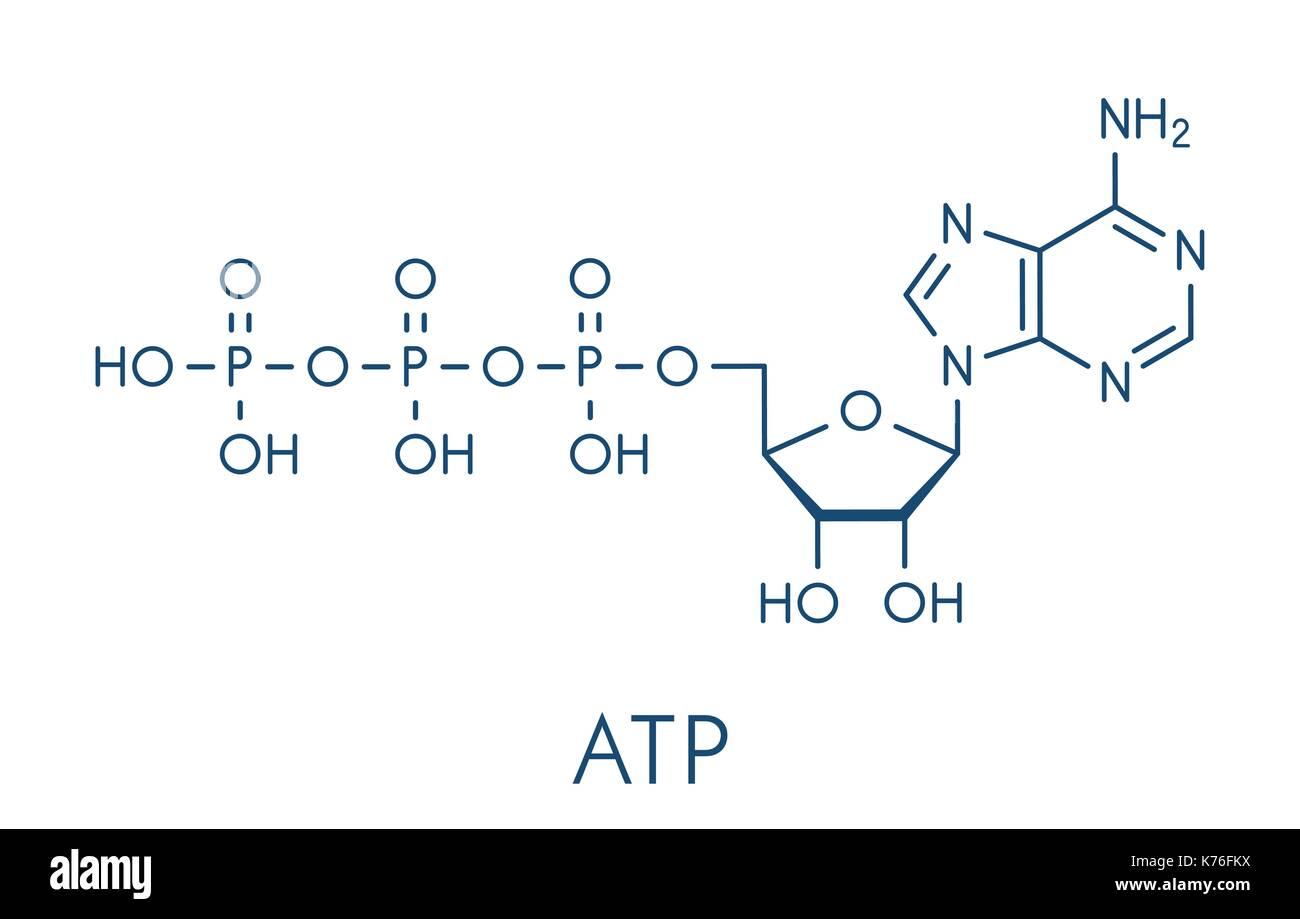 diagram of the atp molecule cub cadet belt replacement neurotransmitter stock photos and