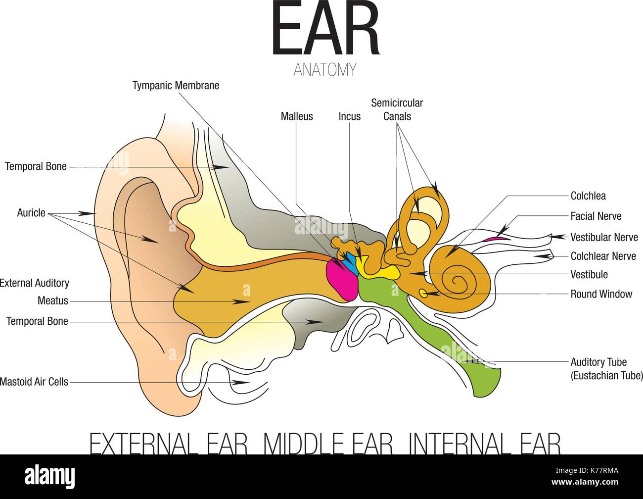 hight resolution of ear anatomy with parts name vector image