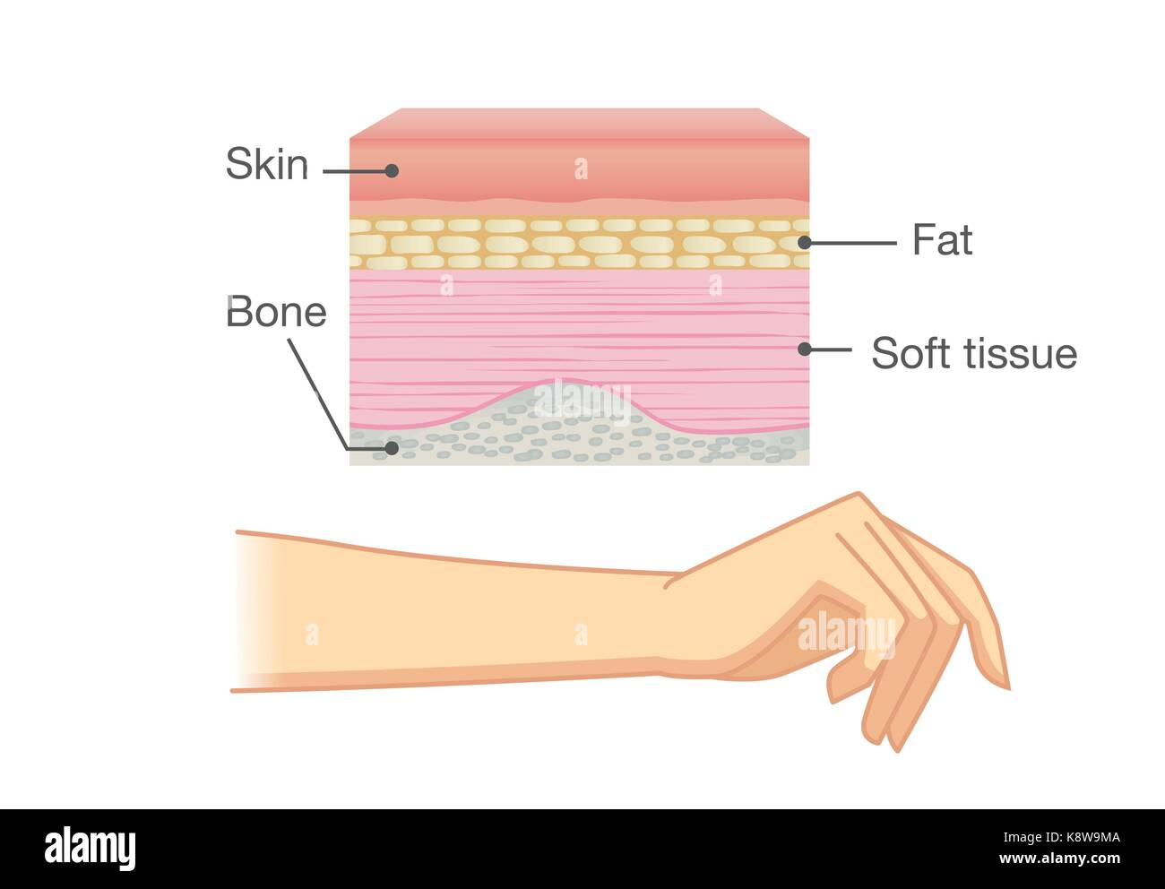 hight resolution of anatomy of human skin layer and arm stock image
