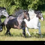Noriker Draft Horse Roan High Resolution Stock Photography And Images Alamy