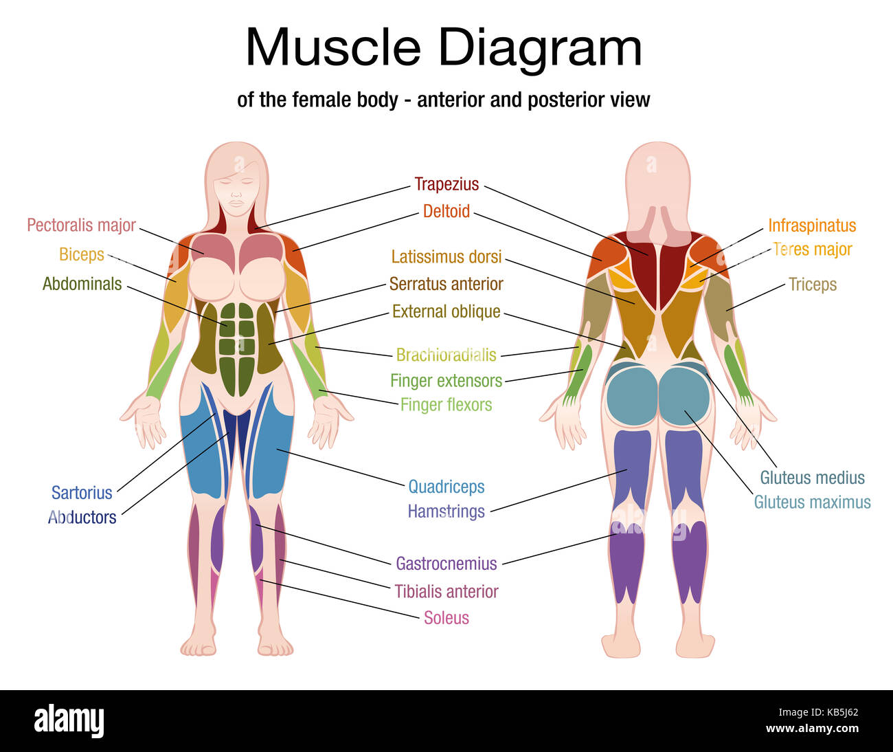 Human Body Muscles Diagram Stock Photos Amp Human Body Muscles Diagram Stock Images