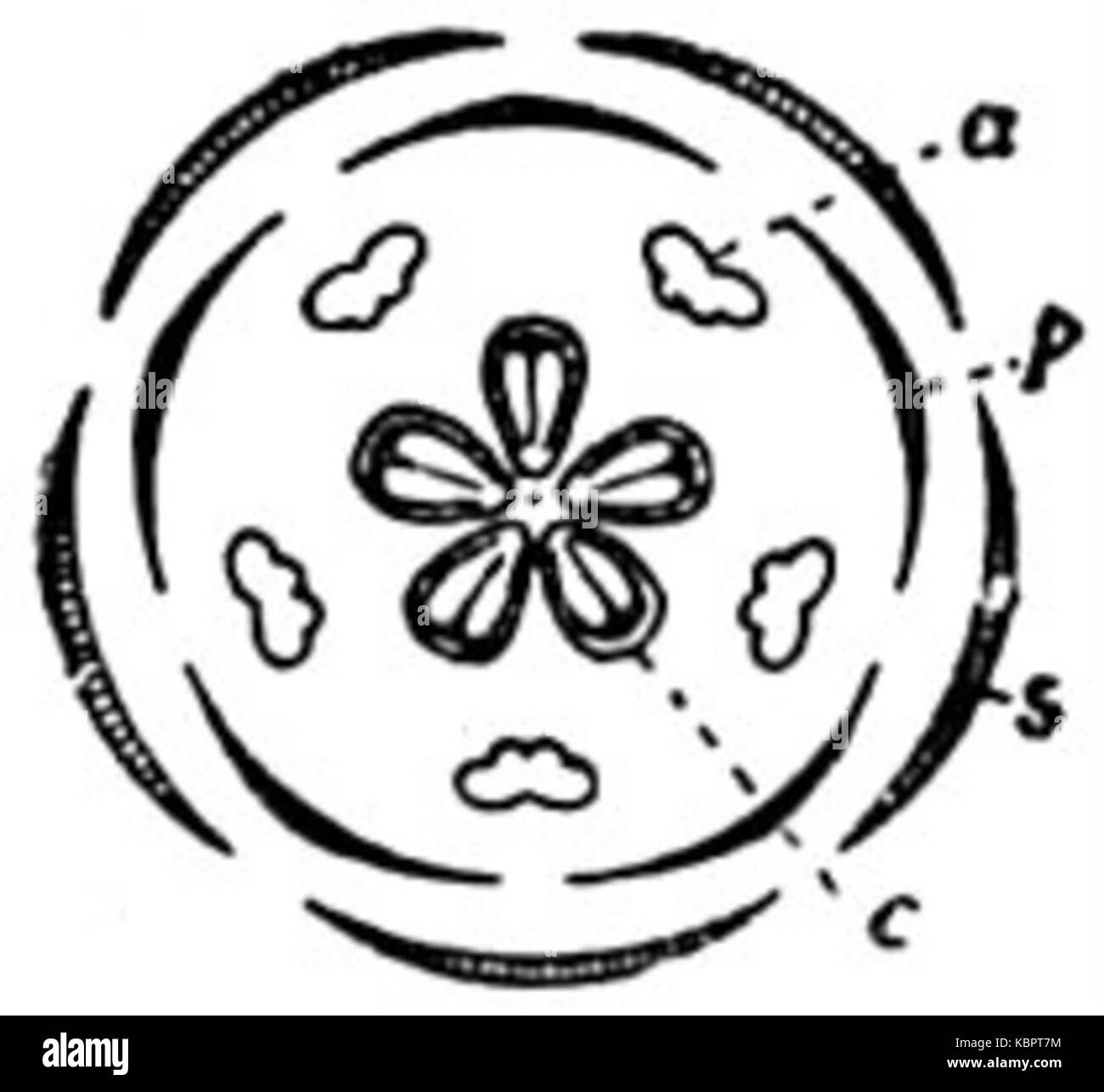 hight resolution of eb1911 flower diagram of a completely symmetrical flower stock image